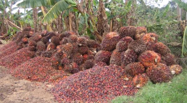 Solidaridad's NISCOPS Intensifies Efforts to Improve Oil Palm in Nigeria
