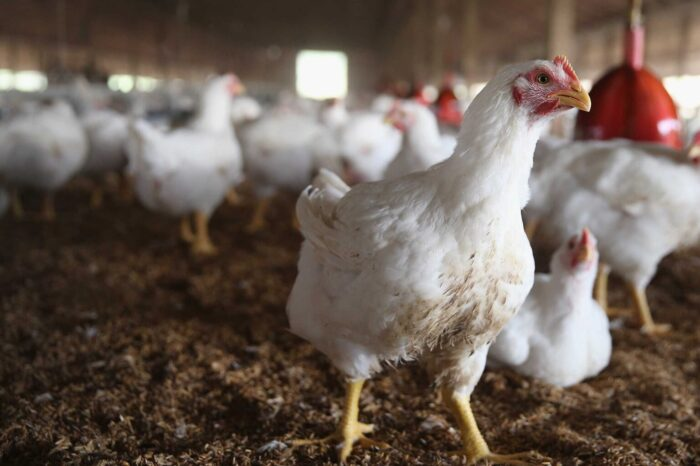 COVID-19: Poultry farmers decry egg glut