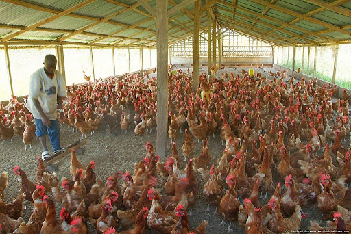 How you can make money from poultry farming in Nigeria