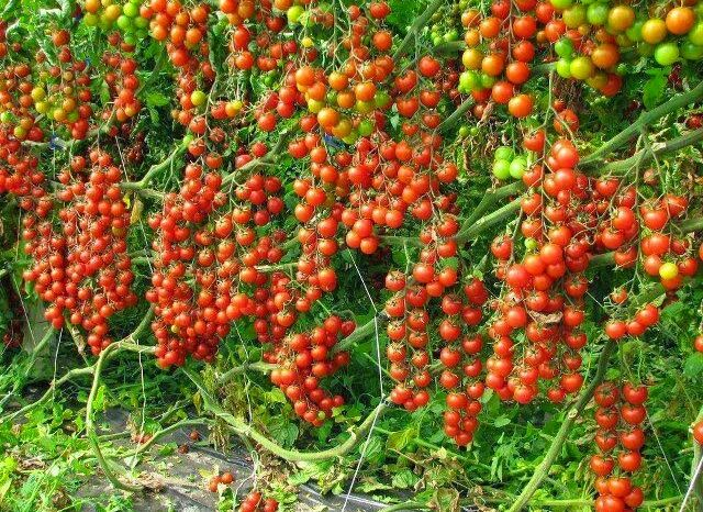 How To Start A Lucrative Tomato Farming Business