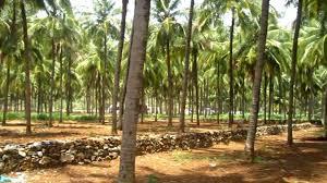 Make Millions-Of-Naira Running Coconut Plant